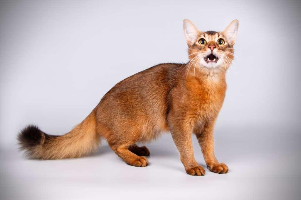 猫の鳴き声にはどんな意味があるの? ソマリの鳴き方からわかる猫の気持ち
