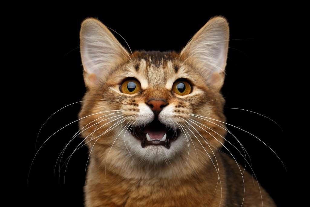 ソマリの声の魅力と鳴き方からわかる猫の気持ちとは?