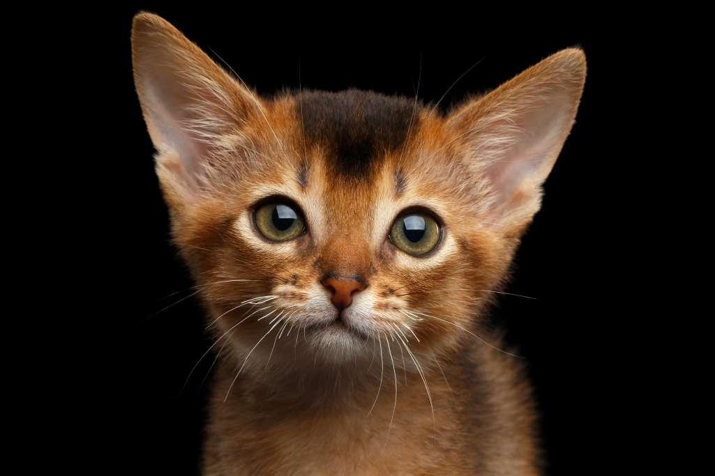 アビシニアンとソマリの目と耳はそっくり