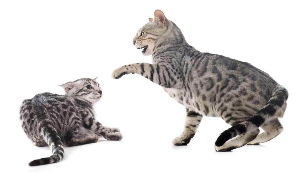 同居猫とけんかになったら、すぐに止めて別の部屋に移す