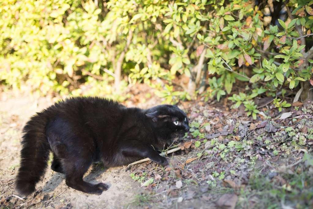 猫のしっぽが太くなる=怒っている
