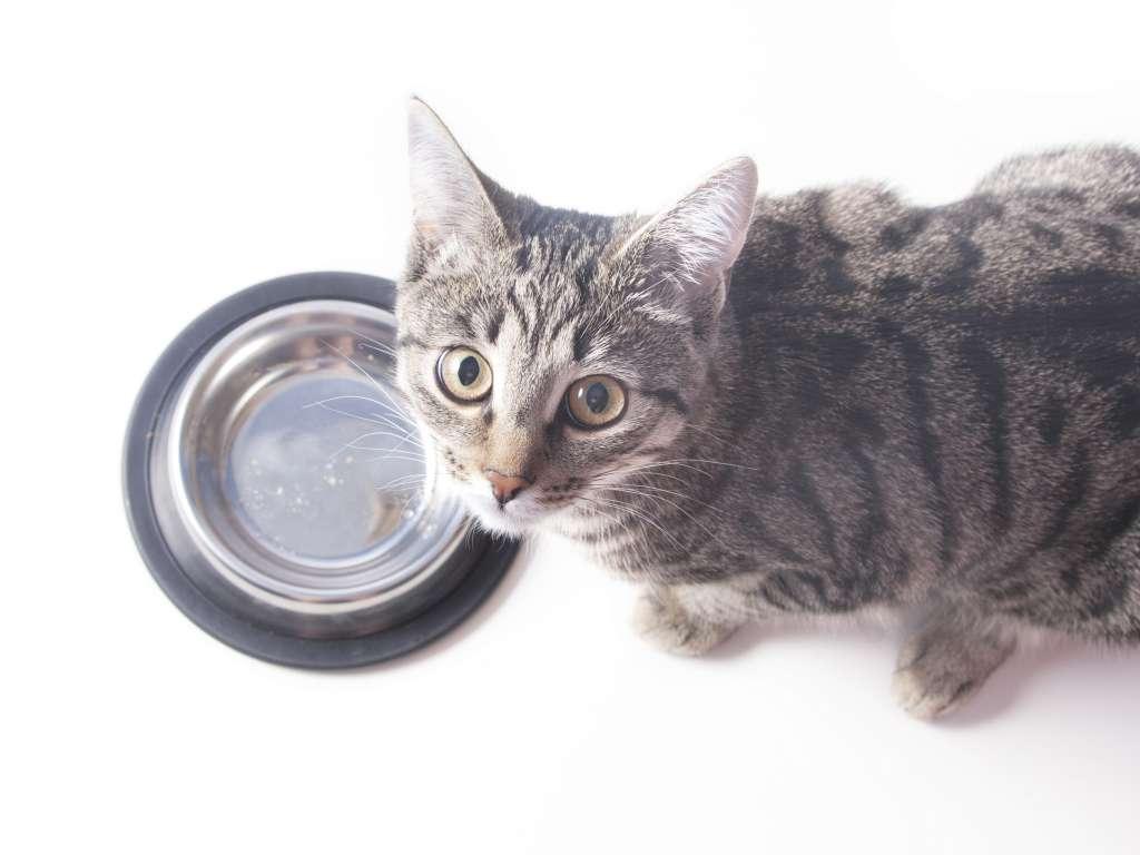 猫が出したフードを食べ終わったあとに付いてくる理由