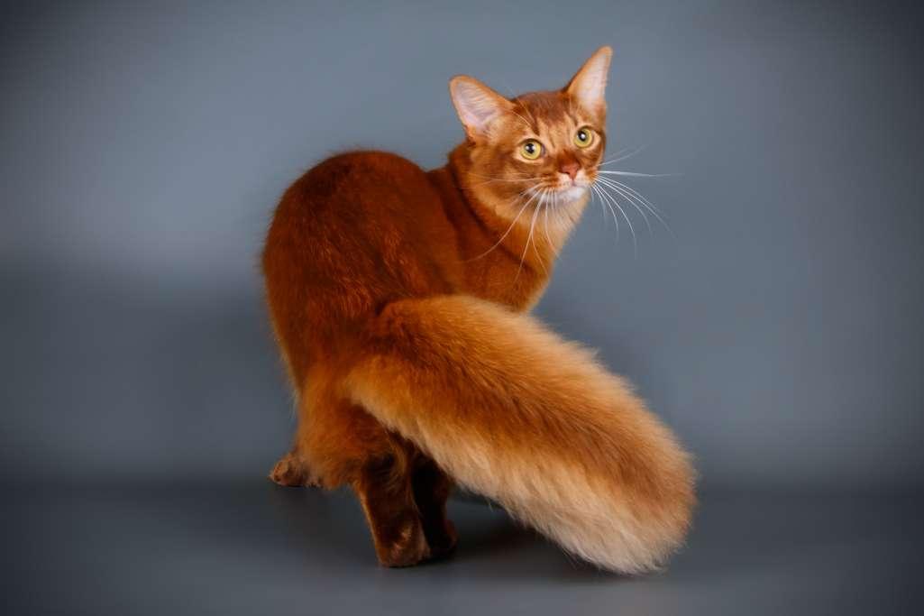 ソマリは、突然変異的にアビシニアンから生まれた毛の長い猫を元に作られた長毛種