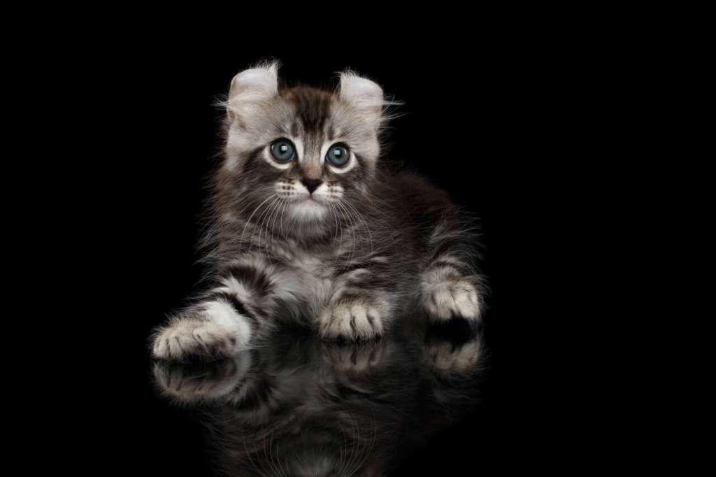 アメリカンカールの子猫には好きなだけ食べさせる
