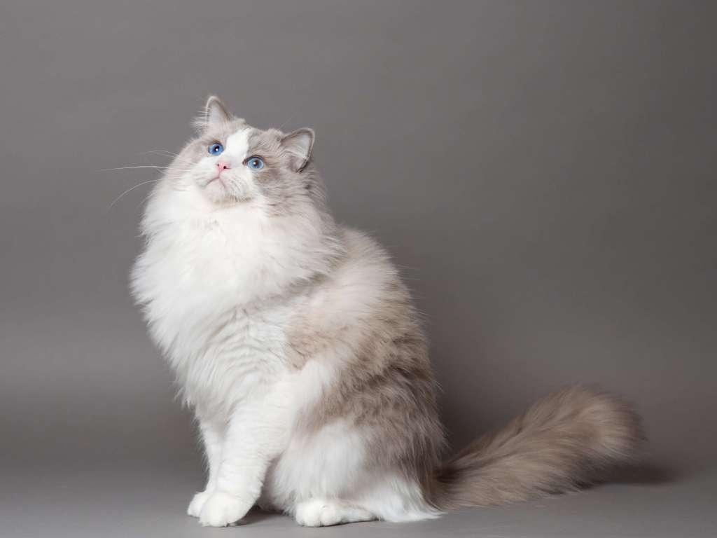 ラグドールの人気の毛色1位は「ブルー」値段は24万円