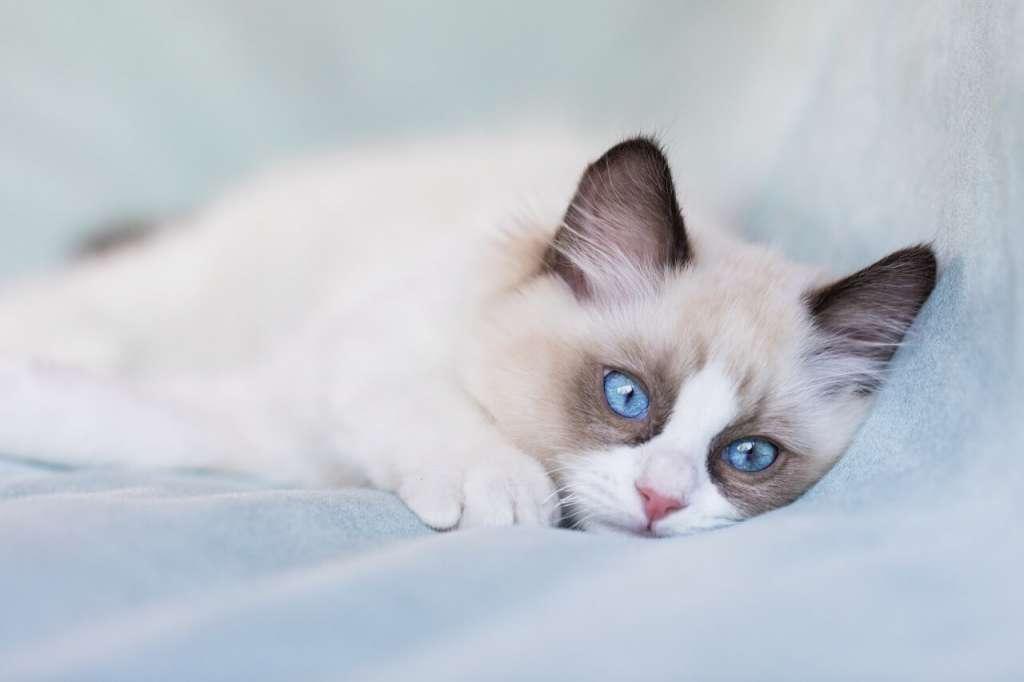 ラグドールの猫伝染性腹膜炎(FIP)の予防と治療