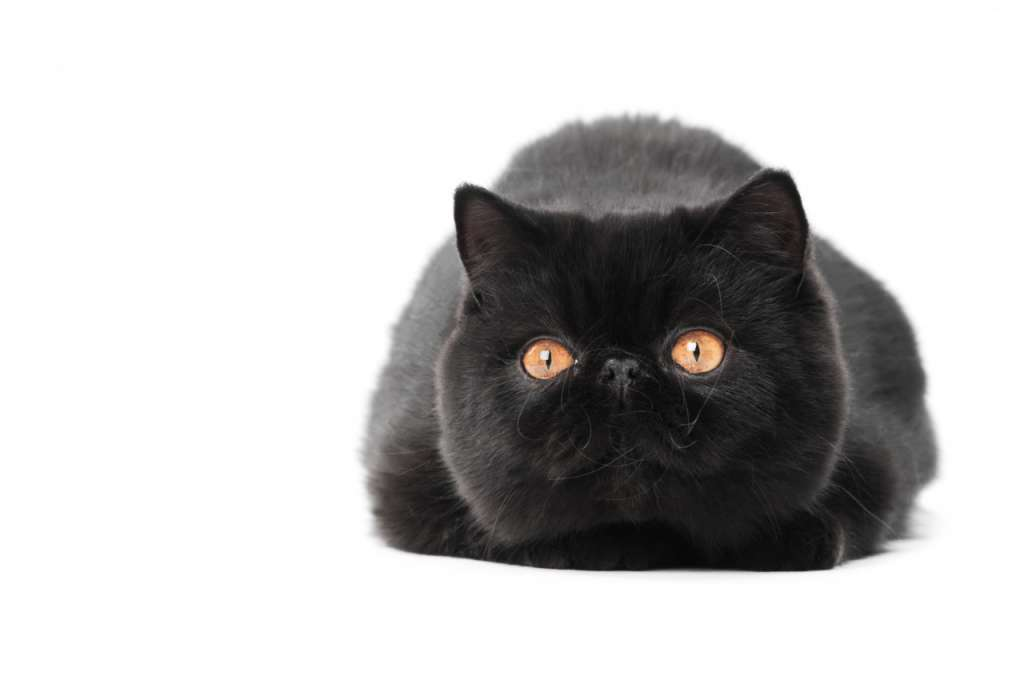 エキゾチックショートヘアの人気の毛色5位「ブラック」値段は24万円