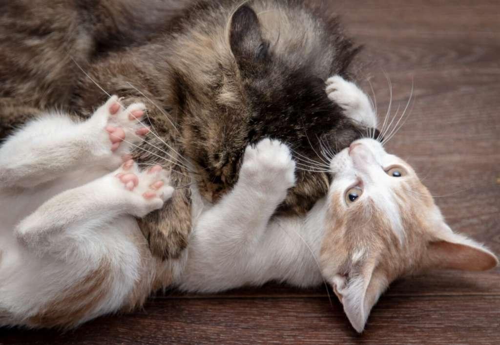けんかの原因は縄張り争い。室内飼いでもけんかは起こる