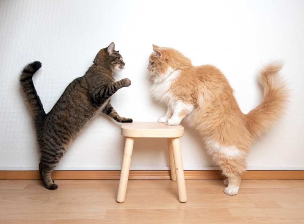 猫がけんかをする理由とは? 縄張り争いの予防と止めさせ方