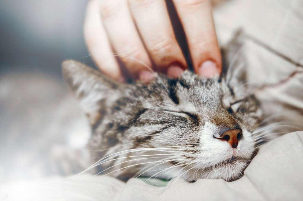 猫がサイレントニャーをしたらやさしく頭をなでてあげる