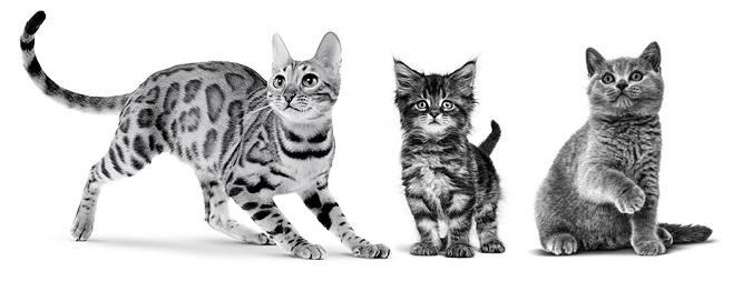 ベンガル 成猫、メインクーン 子猫、ブリティッシュ ショートヘアー 子猫のイメージ