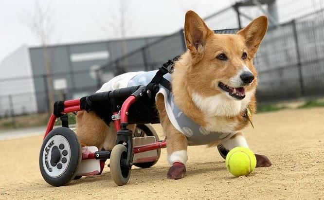 """▲コーギーの""""ミュウモ""""ちゃん、現在13歳。DMによる後肢麻痺のため、車いすで闘病中。"""