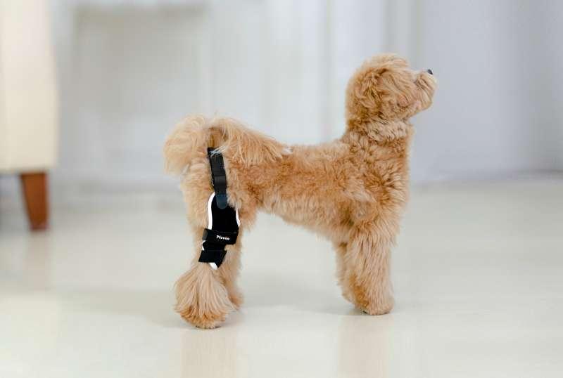 愛犬の健康的な「歩行、走行、ジャンプ」をサポートする犬用膝サポーター(膝蓋骨パテラサポーター)ポベオが遂に日本へ上陸します